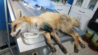 Ayağı kırılan Kızıl Tilki'ye plak takılarak tedavi altına alındı