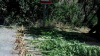 Torul'da 49 kök hint keneviri ele geçirildi