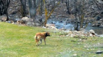 Torul Belediyesinden kafasına bidon sıkışan köpek için operasyon