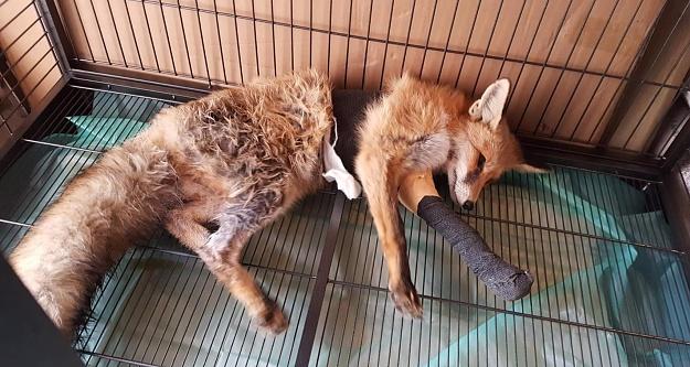 Ayağı kırılan Kızıl Tilki#039;ye plak takılarak tedavi altına alındı