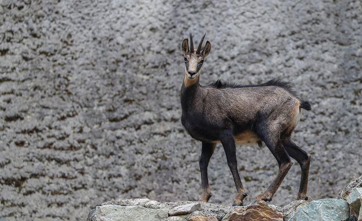 Çengel boynuzlu dağ keçilerinin sayısı artıyor