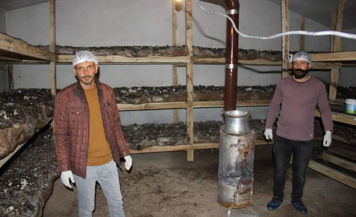 Köse'nin ilk mantar tesisini kurdu, ilk hasatta yarım ton ürün aldı