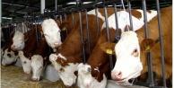 Damızlık dişi hayvanların kurbanda kesimi yasaklandı