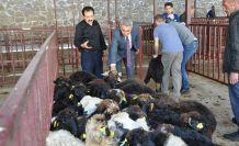 Gümüşhane'de genç çiftçilere küçükbaş hayvanları dağıtıldı