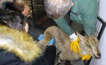 Yaralı yavru yaban keçisi tedavi edilerek doğaya bırakıldı