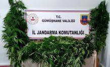 Gümüşhane'de Jandarma kenevir yetiştiricilerine göz açtırmıyor