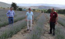 Kıraç Arazilerin Gözdesi Mor Bereketi: Lavanta