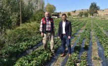 Kelkit'te Ekim ayında şaşırtan çilek hasadı