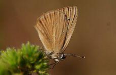 Gümüşhane kelebeklerine yeni bir tür daha eklendi