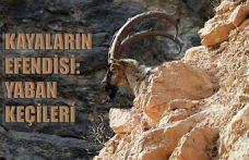 Kayaların usta tırmanıcısı yaban keçileri