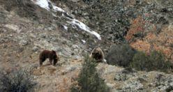 Gümüşhane'de ayılar kış uykusundan böyle uyandı