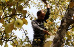 Gümüşhane'de elma hasadı devam ediyor