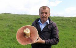 Gümüşhane'de son 25 yılın en büyük kızıl mantarı bulundu