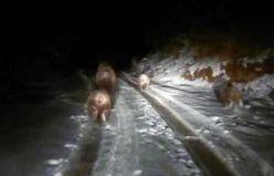 Bu ayılar kış uykusuna yatmadı