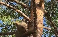Ağaca tırmanan yavru ayı böyle görüntülendi
