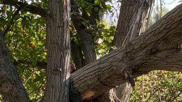 Kestiği ceviz ağacı az kalsın canına mal oluyordu