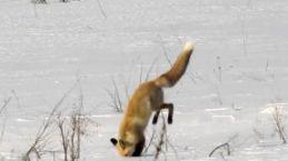 Aç kalan Kızıl Tilki Gümüşhane'de böyle avlandı
