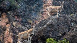 Gümüşhane dağlarının süsü olan Yaban Keçileri bu yıl ikiz yavruladı