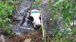 Havuza düşen inek operasyonla kurtarıldı