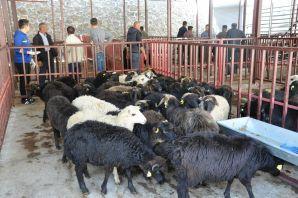 Genç Çiftçilere küçükbaş hayvanları dağıtıldı