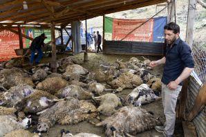 Gümüşhane'de ağıla giren kurtlar 103 koyunu telef etti, 43 koyunu yaraladı
