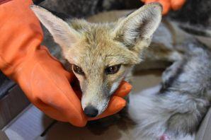Gümüşhane'de yaralanan yavru tilki tedavi altına alındı