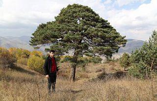 Dev çam ağacı hem boyutu hem de hikayesi ile dikkat...