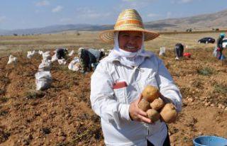 Gümüşhane'de patates rekoltesinin 45 bin ton...