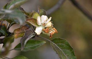 Kışı beklerken Kasım ayı ortasında elma ağacı...