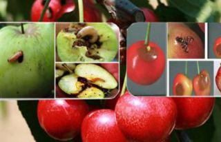 Kiraz sineği ve elma iç kurdu ile mücadele zamanı...