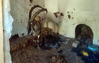 Yayla evinde mahsur kalan yaban keçisini kurtardılar
