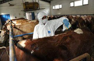 Gümüşhane'de hayvanlar keneye karşı ilaçlanıyor