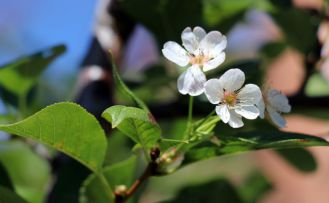 İklimi şaşıran vişne ağacı sonbaharda çiçek açtı