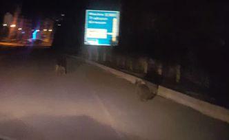 Torul'da ayılar ilçe merkezine indi