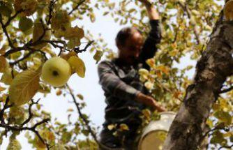 Adı da tadı da özel olan 'Göbek' elmasında hasat zamanı