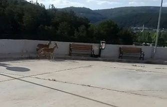 Yavru yaban keçileri hastane bahçesine indi