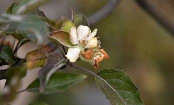 Kışı beklerken Kasım ayı ortasında elma ağacı çiçek açtı