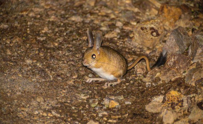 Gümüşhane'de Arap Tavşanı görüntülendi
