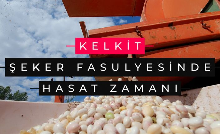 Dünyaca ünlü Kelkit şeker fasulyesinde hasat zamanı