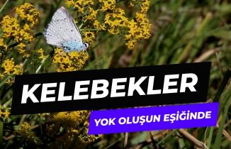 Kelebekler yok oluşun eşiğinde