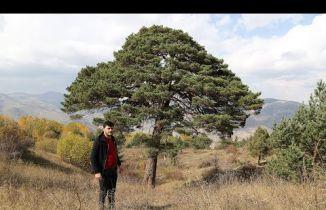Bu çam ağacı devasa boyutu ve hikayesi ile dikkat çekiyor