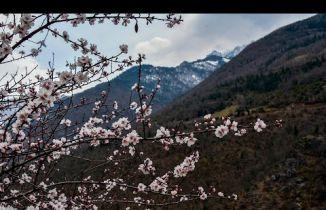Gümüşhane'de badem ağaçları çiçek açtı