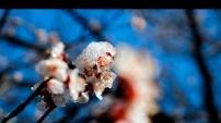 Gümüşhane'de Çiçekler Buz Açtı! - 1 Nisan 2016