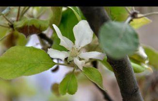 Kasım ayının ortasında Gümüşhane'de elma ağacı çiçek açtı
